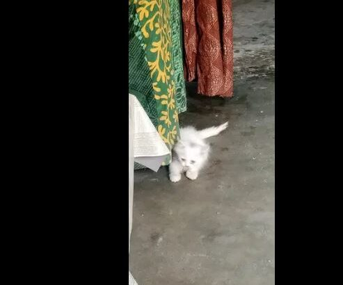 Male cat parshiyan for sale