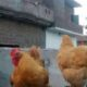 Golden haevy buff. Set of 2:1.2 hens and 1 cock