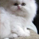 Many Colors. Persian Kittens.
