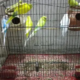 Australian parrot with cage for sale