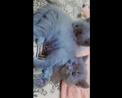 Persian cat 3 coated male grey for sale