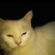 odd eyes cat female 2 dfa bacha da chuki hai