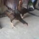 Aseel hen and aseel murgha for sale healty and active two hen and one
