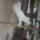 Ghubara pigeon pair For Sale In Cantt, Lahore