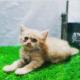 persian triple coated kitten