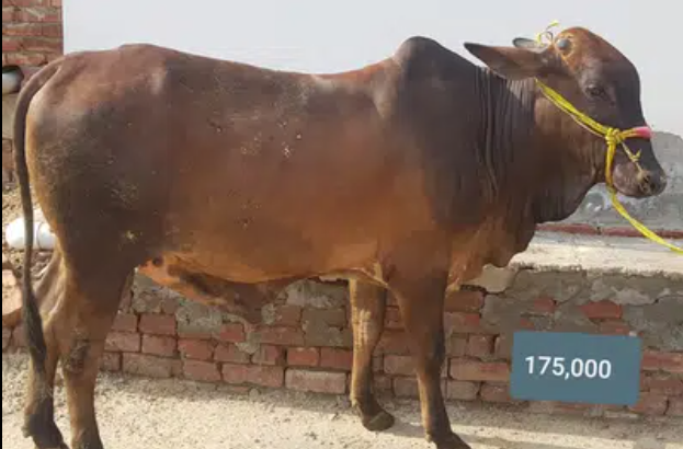 Qurbani Wachy For Sale In Lahore