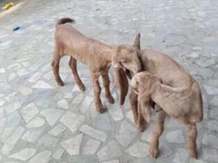 kamori goat male babyes