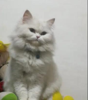 Pure Persian Cat