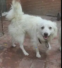 Russian Male Dog For Sale