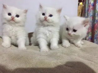 pure pershion kitten