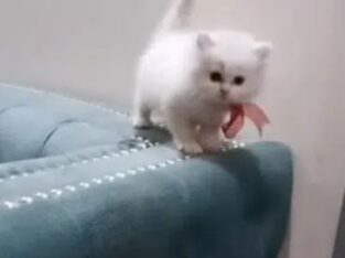 pura blood line persian kittens for sale in lahore