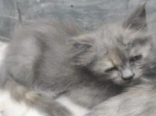 Persian Cat Male Oscar for sale in faisalabad