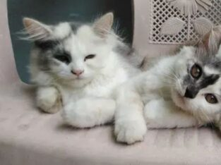 2 female persian cats for sale in lahore