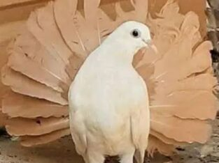 Breeder yellow tail male requrid for sale in faisalabad