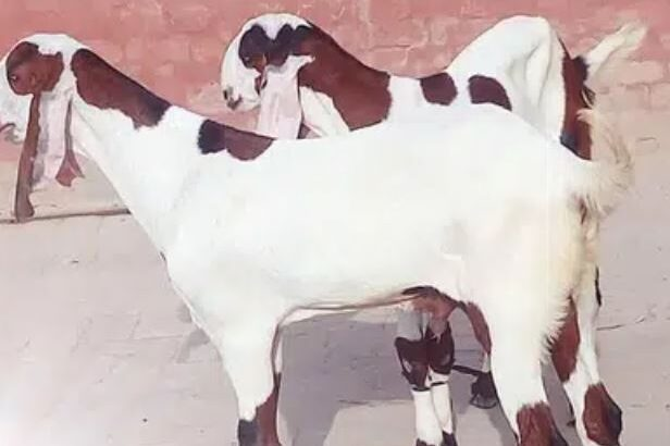Goats urgent sale in faisalabad
