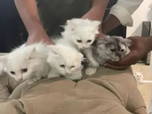 Persian Doll Face Cut Kittens For Sale – Lahore