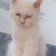russion cat for sale in faislabad