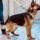 German Shehpherd Male for sale in lahore