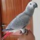 African grey parrot two love bird urgent for sale in islamabad