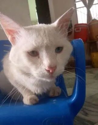 persian male cat for sale in khusab