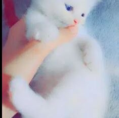Blue eyes cats for sale in sialkot
