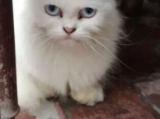 parshian cat for sale lahore