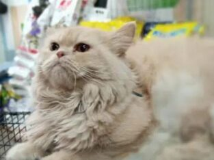 Persian Cat   Male & Female for sale in lahore