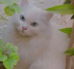 blue eyes persian cats for sale in karachi