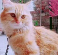 Persion cat for sale in wazirabad