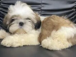 Shih Tzu Male pup for sale in lahore
