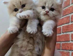 Peki/ex punch kittens For sale in karachi