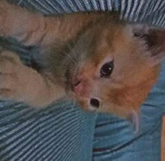persion Kitten cats For sale in sialkot