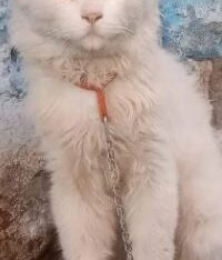 Persian cat Male For sale in Gujrawala