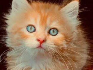 triple coated blue eyes kitten long hair lion