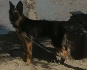 dog for sale in jhang