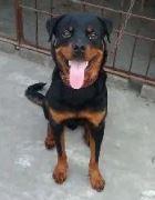 rottweiler puppi for sale in gujranwala
