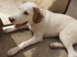 Labrador retriever and pethigree dog mix