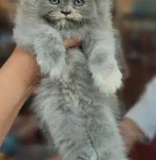Adorable Quality KitteN for sale in islamabad
